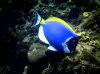 Christmas Island - Underwater photography - Powder Blue Tang (photo by B.Cain)