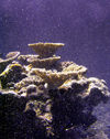 Christmas Island - Underwater photography - Coral Head with particulate backscatter (photo by B.Cain)