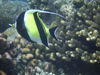 Christmas Island - Underwater photography - Moorish Idol (photo by B.Cain)