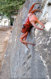 39 Christmas Island: Red Crab scaling wall near Settlement - Gecarcoidea natalis (photo by B.Cain)