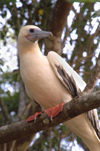 47 Christmas Island: Red Footed Boobie in tree - Christmas Island National Park (photo by B.Cain)