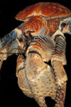 49 Christmas Island: Robber Crab Close-up - Birgus latro (photo by B.Cain)