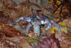 52 Christmas Island: Robber Crab on leaves - coconut crab (photo by B.Cain)
