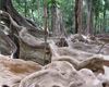 59 Christmas Island: Tree roots in the island's interior (photo by B.Cain)