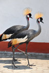 Goma, Nord-Kivu, Democratic Republic of the Congo: pair of Grey Crowned Cranes - Balearica regulorum gibbericeps - photo by M.Torres