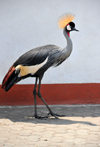 Goma, Nord-Kivu, Democratic Republic of the Congo: Grey Crowned Crane - this bird is often used in Central Africa as a peacock would be in Europe - Balearica regulorum gibbericeps - photo by M.Torres