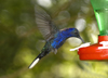 Costa Rica: hummingbird inflight at feeder - colibri - photo by B.Cain