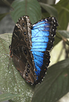 Costa Rica: blue Morpho Butterfly - photo by B.Cain