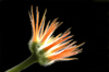 Costa Rica: orange flower, black background - photo by B.Cain