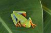Costa Rica, Tortuguero National park, Limón Province: orange-toed tree frog - arboreal hylid - photo by B.Cain
