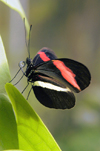 Costa Rica: Heliconius erato petiverana - red and black butterfly - insect - photo by B.Cain