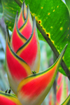 Puerto Viejo de Sarapiquí, Heredia province, Costa Rica: Heliconia rostrata - Lobster claw - tropical flower - photo by M.Torres