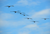 Playa Hermosa, Puntarenas province, Costa Rica: pelicans - flight formation - photo by M.Torres