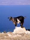 Crete - near Kissamos / Kastelli (Hania prefecture): goat on rock (photo by Rick Wallace)