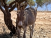 Crete - Kissamos / Kastelli (Hania prefecture): donkey in the shade (photo by Rick Wallace)