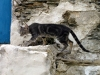 Crete - Bali / Mpali:  stray cat on the move (photo by Alex Dnieprowsky)
