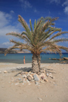 Crete, Greece - Itanos, Lasithi prefecture: sunny October afternoon - palmtree on the beach - photo by A.Dnieprowsky