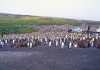 Crozet islands - Possession island: penguin rookery - 100.000  king penguins! (photo by Francis Lynch)