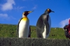 Crozet islands - Possession island: close-up of two king penguins - Antarctic fauna (photo by Francis Lynch)