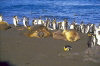 Crozet islands - Possession island:  Elephant seals and king penguins basking in the sun (photo by Francis Lynch)