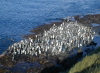 Crozet islands - Possession island:  king penguins gather to go for a swim (photo by Francis Lynch)