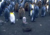 Crozet islands - Possession island: rockhopper penguin surrounded by king penguins (photo by Francis Lynch)