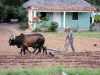 Cuba - Viñales - Pinar del Rio Province: farmer ploughing the land - agriculture - traditional methods - oxen - photo by L.Gewalli