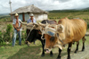 Cuba - Holguín province - farmworkers with oxen - photo by G.Friedman