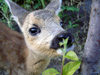 Russia - Dagestan - Tsumada rayon - Tissink woods: Bambi - close-up (photo by G.Khalilullaev)