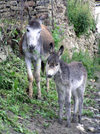 Russia - Dagestan - Tsumada rayon - Gigatly settlement: donkey and mother - Equus asinus (photo by G.Khalilullaev)