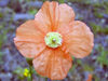 Russia - Dagestan - Tsumada rayon: poppy (photo by G.Khalilullaev)