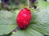 Russia - Dagestan - Tsumada rayon: wild strawberry (photo by G.Khalilullaev)