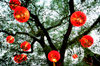 Copenhagen, Denmark: Chinese paper lanterns hanging on tree in Tivoli gardens, low angle view - photo by K.Gapys