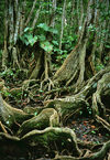 Dominica - Picard river gorge: roots of banyan trees - strangler fig - ficus - Syndicate Nature Trail - photo by G.Frysinger