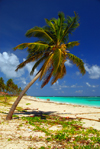 Punta Cana, Dominican Republic: coconut palm leaning over a tranquil stretch of the beach - Arena Gorda Beach - photo by M.Torres
