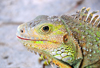 R�o San Juan, Mar�a Trinidad S�nchez province, Dominican republic: close-up of a Hispaniolan Ground Iguana - Ricord's Rock Iguana - Cyclura ricordi - photo by M.Torres