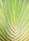 R�o San Juan, Mar�a Trinidad S�nchez province, Dominican republic: detail of a Travellers Palm - Ravenala madagascariensis - photo by M.Torres