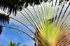 R�o San Juan, Mar�a Trinidad S�nchez province, Dominican republic: Travellers Palm - Ravenala madagascariensis - photo by M.Torres