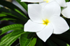 R�o San Juan, Mar�a Trinidad S�nchez province, Dominican republic: white plumeria flower - frangipani - photo by M.Torres