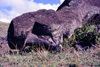 Easter Island - Rano Raraku: unfinished statue 21 m long - photo by G.Frysinger