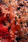 Egypt - Red Sea - Marsa Alam area: flower coral (underwater photography by K.Osborn)