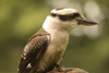 Exmoor NP, Somerset, South West England, UK: Kookaburra in Exmoor Falconry - photo by I.Middleton