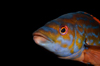 English Channel, Cornwall, England: male cuckoo wrasse close up - Labrus mixtus - photo by D.Stephens