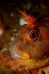 English Channel, Cornwall, England: Tompot blenny close up - Parablennius gattorugine - photo by D.Stephens