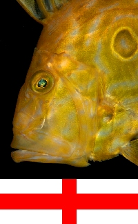 English Channel, Cornwall, England: John Dory - Zeus faber - St Peters fish - photo by D.Stephens