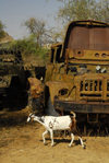 Eritrea - Keren, Anseba region: goat in a truck cemetery - rusting Soviety military trucks - photo by E.Petitalot