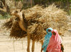 Eritrea - Keren, Anseba region: women transport straw in a camel - photo by E.Petitalot
