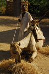 Eritrea - Hagaz, Anseba region - camel eating straw - photo by E.Petitalot