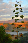 Gondar, Amhara Region, Ethiopia: reservoir and flowering Century Plant or Maguey - Agave americana - photo by M.Torres