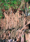 Gondar, Amhara Region, Ethiopia: Fasiladas' bath - banyan trees strangle the old stones, in the best Angkor style - Ficus benghalensis - photo by M.Torres